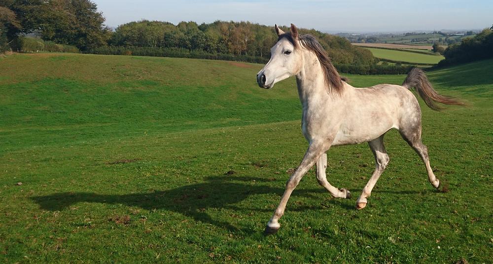 Arab gelding trotting in 12 acre field at Pippsway Classical Natural Horsemanship Wellington Somerset near Devon