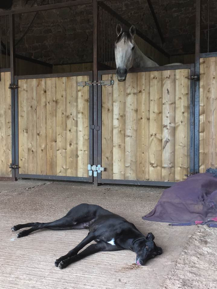 horse in a stable with a greyhound lying down in front of the door at Pippsway Classical Natural Horsemanship Wellington Somerset near Devon