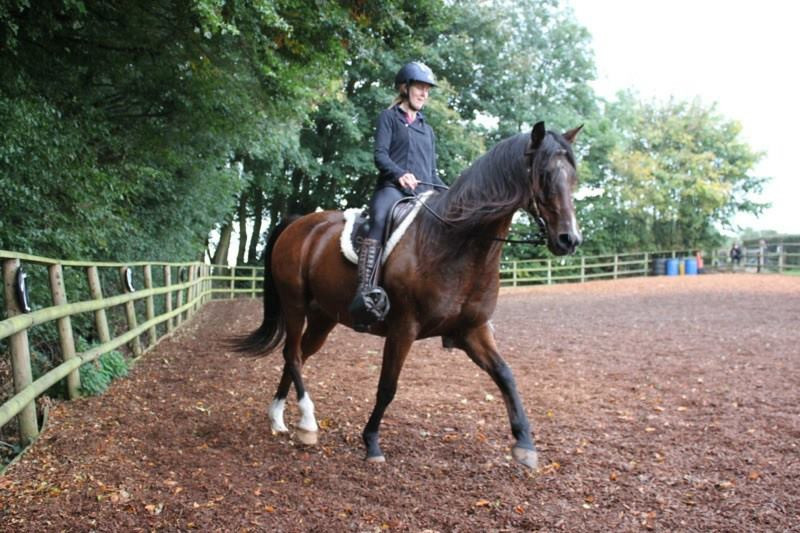 Arab gelding schooling at Pippsway Classical Natural Horsemanship Wellington Somerset near Devon