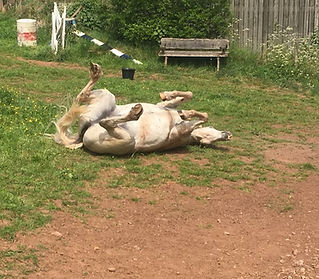 pony rolling at Pippsway Horse Connecton Clinic Wellington Somerset near Devon Pippsway