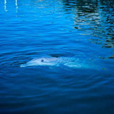 Dolo Dolphin