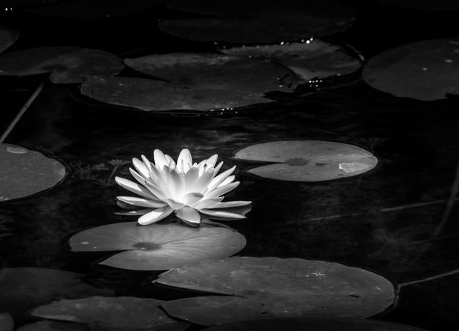 Water Lilly_3909bw.jpg