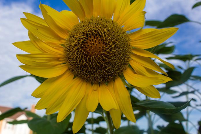 Sunflower_2197.jpg