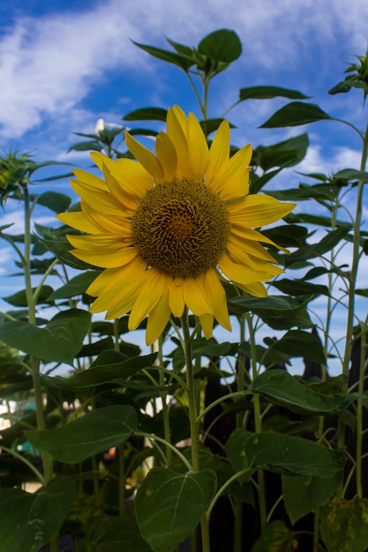 Sunflower_2196.jpg