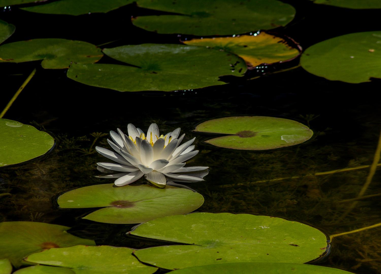 Water Lilly_3909.jpg