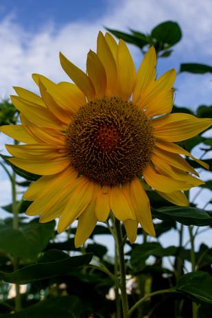 Sunflower_2199.jpg