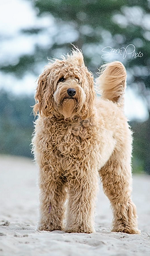 Cream- gold Australian Labradoodle Puppy -red australian labradoodle, parti australian labradoodle
