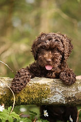 Donna Chocolate Labradoodle Puppy