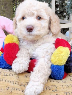 Cream- gold Australian Labradoodle Puppy