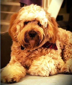 australian labradoodle breeders,labradoodle puppies for sale, australian labradodle puppies for sale, labradoodle dogs uk, labradoodles uk