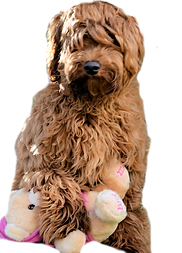 Australian labradoodle breeders  Australian labradoodle puppies , labradoodle puppies, red,chocolate,cream,parti,cafe Labradoodle puppies