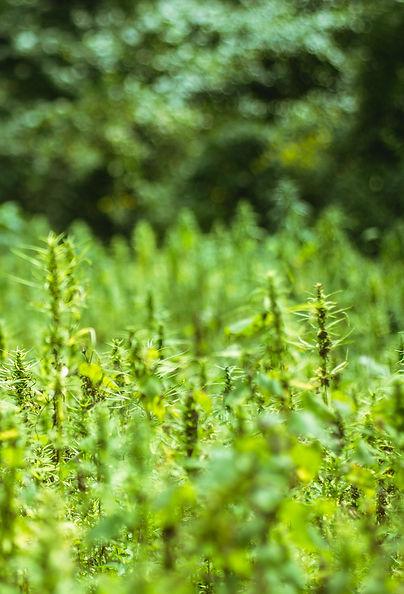 Hemp field hemp plants