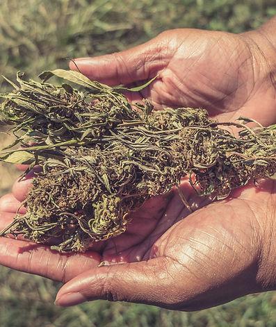 hemp buds dried