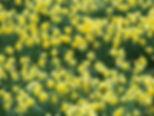 Wild daffodils in Rosedale Abbey