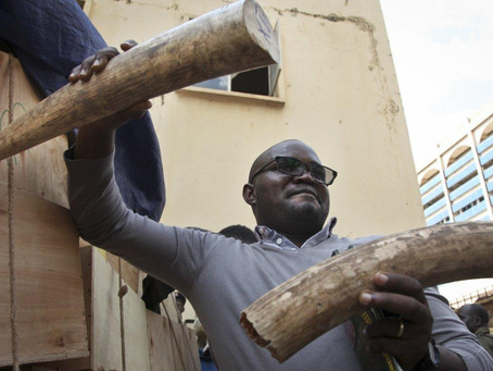 West Africans Busted for Scheming to Ship Illegal Ivory Overseas