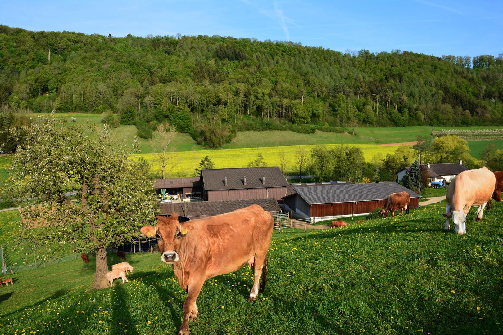 Erlenhof-Rind