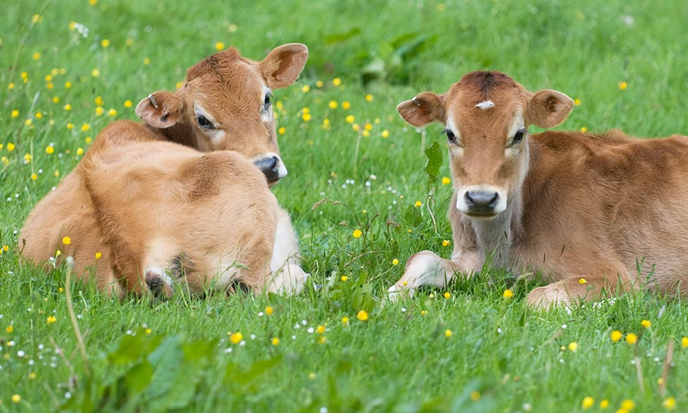 1000-secret-lives-cows-1.jpg