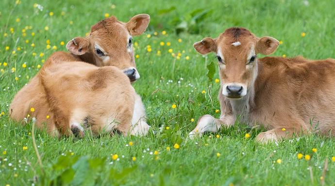 1000-secret-lives-cows-1.jpg