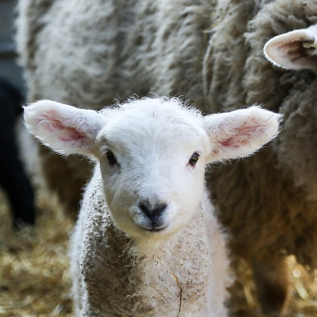 Secret Life of Farm Animals