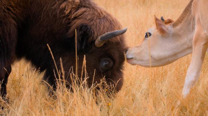 Buffalo and Cow