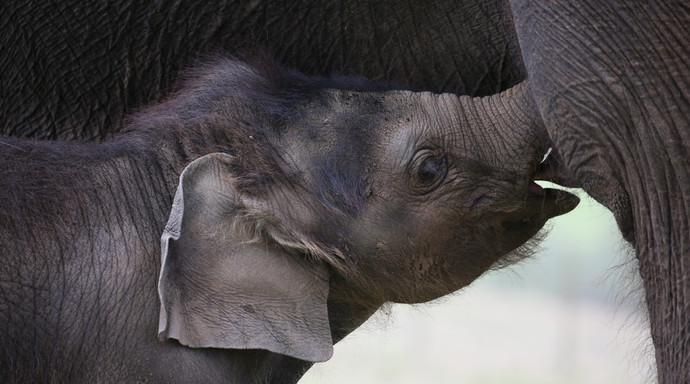 Elephnat mum
