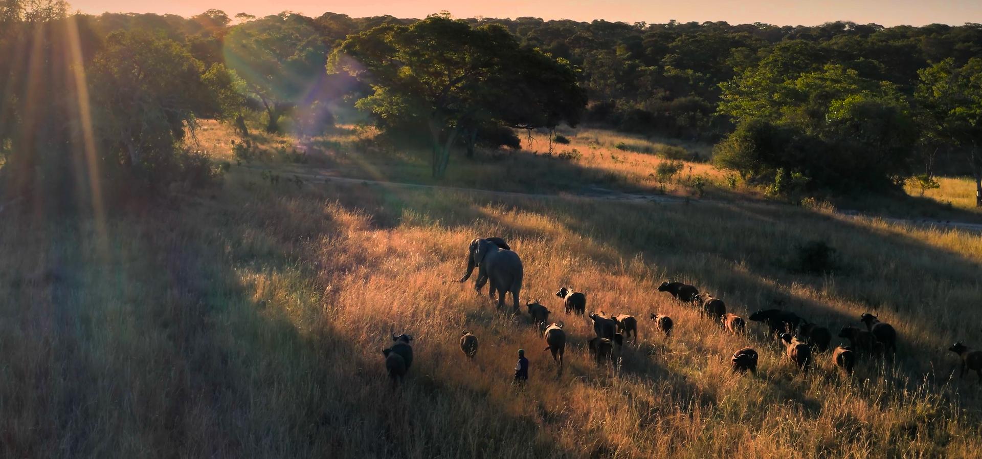 Elephant and Buffalo