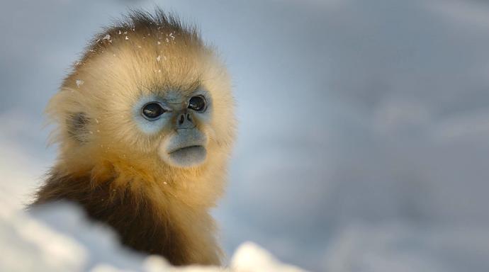 Chinese Snub Nose Monkey