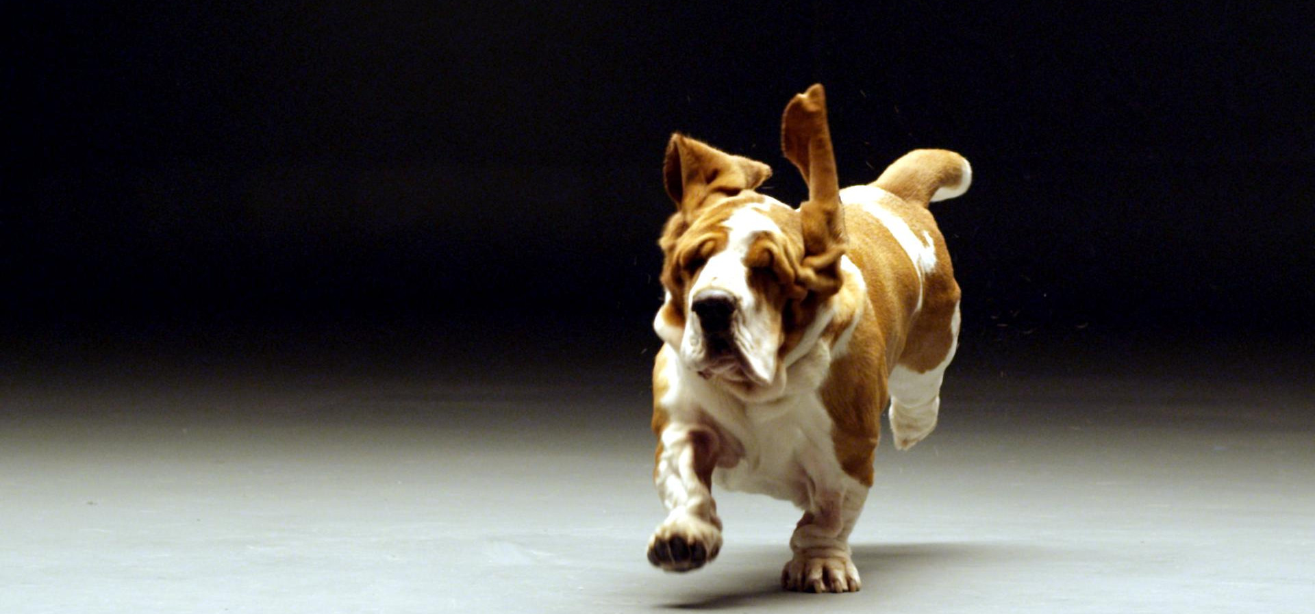Leo-the-Bassett-Hound-running-closer-sho