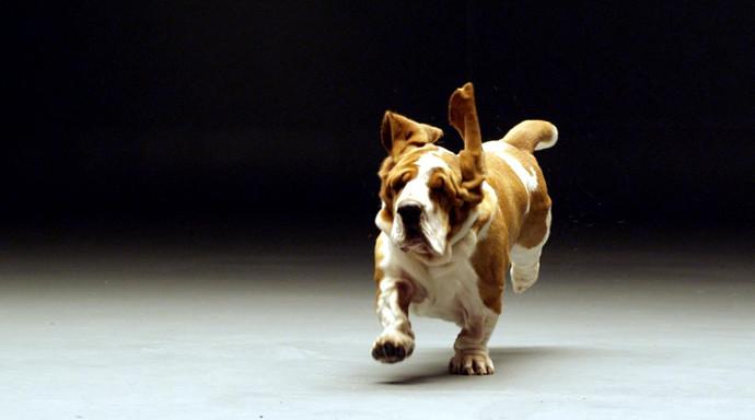 Leo-the-Bassett-Hound-running-closer-sho