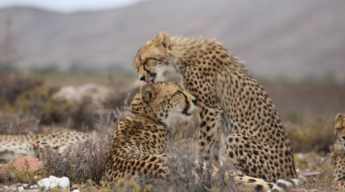 Cheeta mums