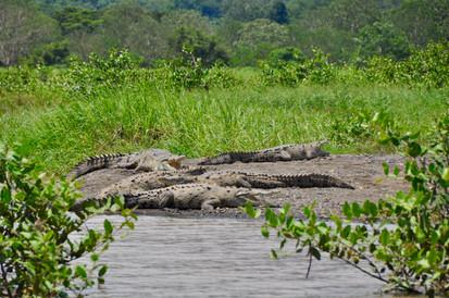 Tarcoles Crocodiles Tour