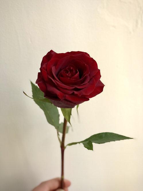 Luxury Fresh Rose- single and multi-stem