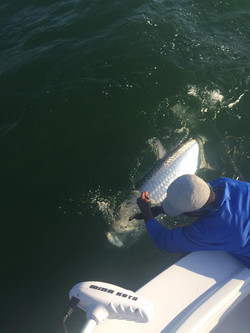 May Sanibel Tarpon