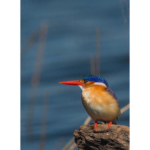 Malachite Kingfisher, Namimbia