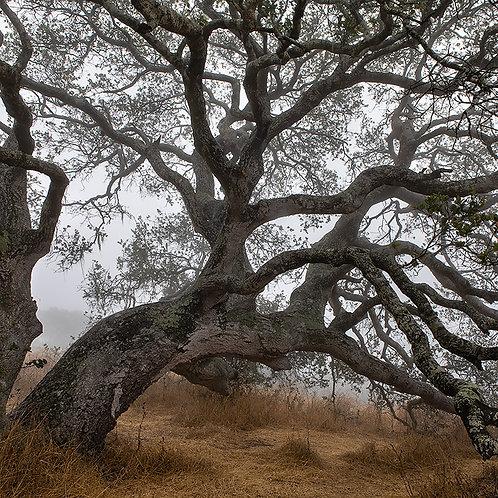 Under an oak