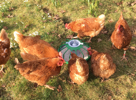 """""""Pecking Pans provide a long-lasting environment enrichment which may reduce injurious pecking"""""""