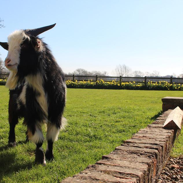 Goat Tweet.jpg