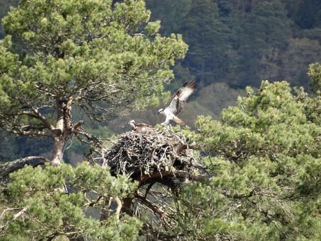 Ospreys over Binfield