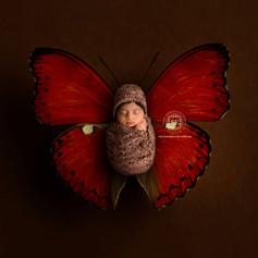 Butterfly_DarkRed_Brown_Regal.jpg