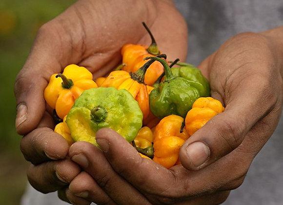 Pepper (hot) - Jamaican Scotch Bonnet