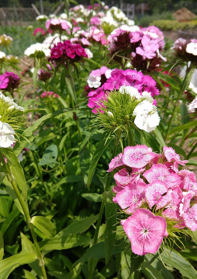 Aromatic Acres' locally grown spring sweet william