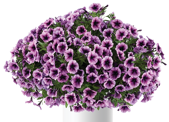 Petunia - Cascadias Purple Ice