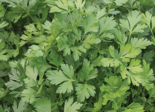 Parsley - Flat Italian