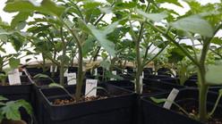 Aromatic Acres artisan tomato seedlings