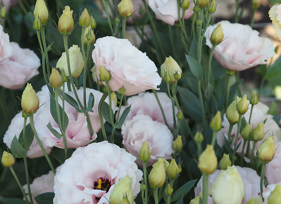 Lisianthus - Pastel Mix 4-pack