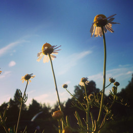 Chamomile eaching for the sky