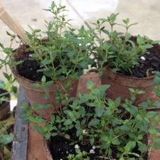 Aromatic Acres thyme plants