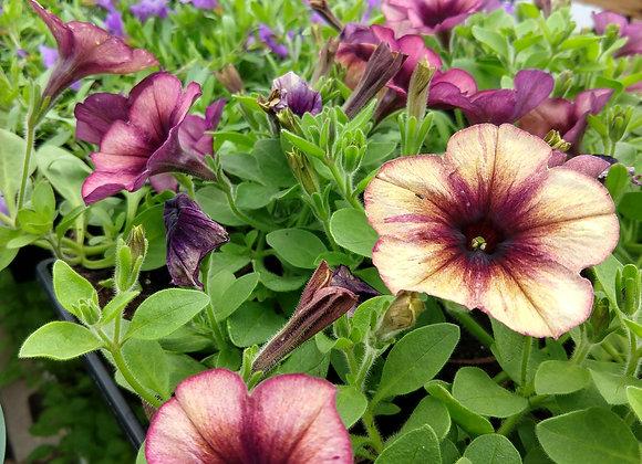 Petunia - Cascadias Autumn Mystery