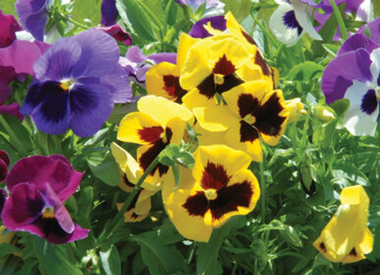Violas - 4-pack - Giant Mix