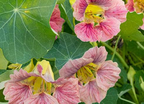 Nasturtium - Lady Bird Rose